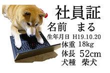 柴犬まる 社員証の画像(オフィスに関連した画像)