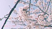 桜の画像(新学期に関連した画像)