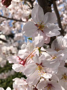 #spring #_sakuraの画像(springに関連した画像)