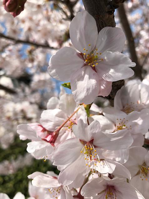 #spring #_sakuraの画像 プリ画像
