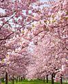 桜・チェリーブロッサム プリ画像