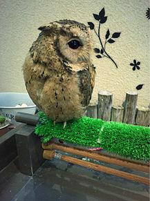フクロウカフェの画像(プリ画像)