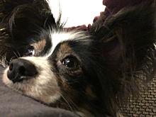 犬  パピヨン かわいい💗💗の画像(プリ画像)