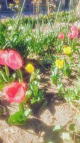 春色いろいろの画像(チューリップに関連した画像)