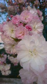 平成最後の4月に撮った花(白~ピンク)の画像(風景 画に関連した画像)