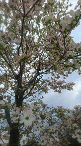 平成最後の4月に撮った花(いろいろ)の画像(ハナミズキに関連した画像)