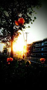 夕日と花の画像(ポピーに関連した画像)