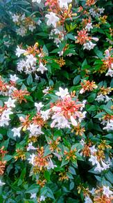 アベリア (Abelia) プリ画像
