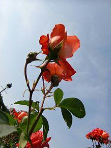 空と…「情熱の薔薇」 プリ画像