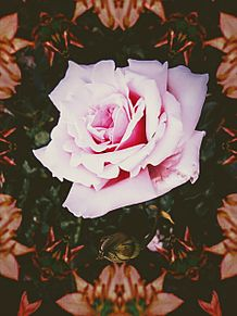 薔薇(加工画像) プリ画像