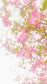 もうじき春色 (ハナミズキ)の画像(ハナミズキに関連した画像)