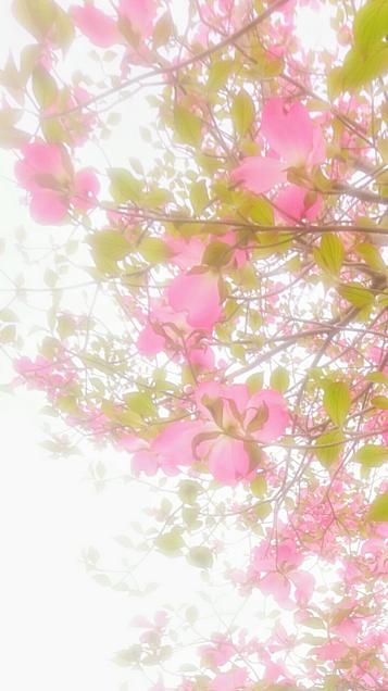 もうじき春色 (ハナミズキ)の画像 プリ画像