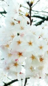 桜の画像(#壁紙に関連した画像)