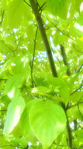 グリーン(ハナミズキ)の画像 プリ画像