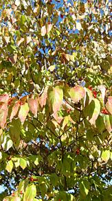 ハナミズキ(赤い実) プリ画像