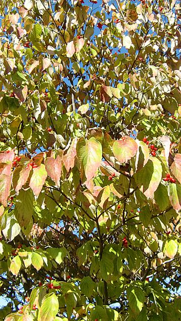 ハナミズキ(赤い実)の画像 プリ画像