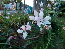 (まるで白い蝶々のような…)花 プリ画像