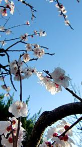 空と…我が家の杏子(あんず)の花🌼の画像(杏子に関連した画像)