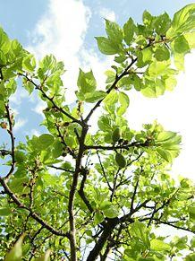 空と…杏子(あんず)の木の画像(杏子に関連した画像)
