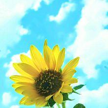 空と…ひまわり プリ画像