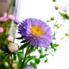 アスター(紫) プリ画像