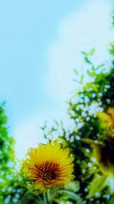ひまわり(夏の終わり)の画像(ひまわりに関連した画像)