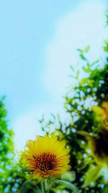 ひまわり(夏の終わり)の画像 プリ画像