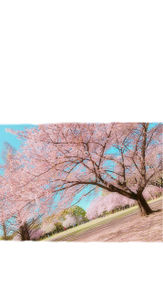 桜の画像(ロックに関連した画像)