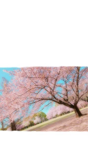 桜の画像 プリ画像