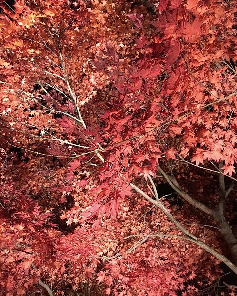 ライトアップされた美しい紅葉の画像(プリ画像)