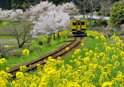 桜と菜の花  ハートのいいねを押してねの画像 プリ画像