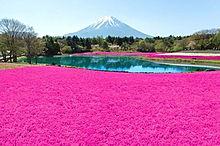 富士山と芝桜  ハートのいいねを押してねの画像(富士山に関連した画像)