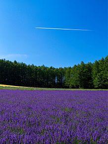 北海道  富良野  ラベンダー畑  写真右下のハートを押してねの画像(ラベンダーに関連した画像)