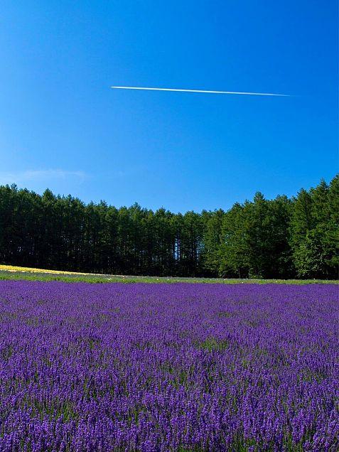 北海道  富良野  ラベンダー畑  写真右下のハートを押してねの画像 プリ画像