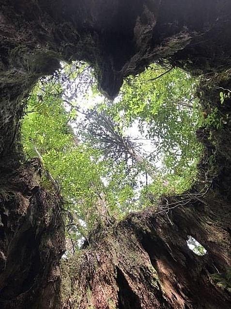 鹿児島県 屋久島のウィルソン株  写真右下のハートを押してねの画像 プリ画像