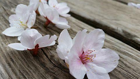 季節感0の桜の画像(プリ画像)