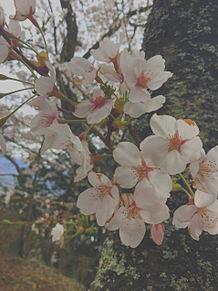 桜🌸の画像(Springに関連した画像)