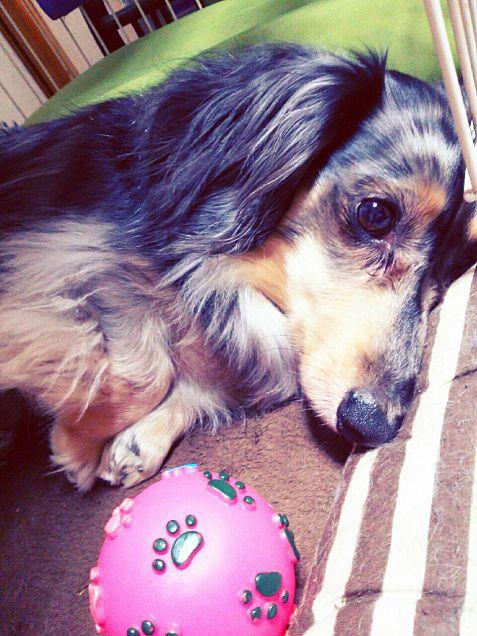 夏休み中暇でしょうがない愛犬❤の画像(プリ画像)