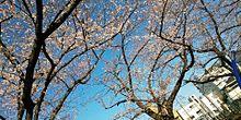 #サクラ#オシャレ#春の画像(サクラに関連した画像)