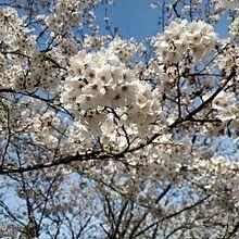 桜満開の画像(満開に関連した画像)