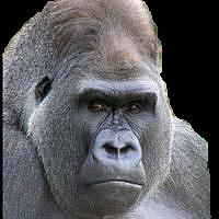 gorillaの画像(プリ画像)