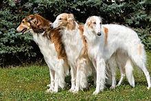 ボルゾイ 犬 プリ画像