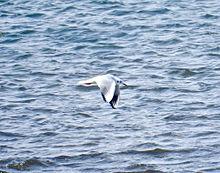 ユリカモメ 百合鴎 東京都の鳥の画像(カモメに関連した画像)