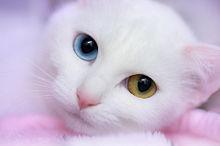 オッドアイの白猫  ハートのいいねを押してね!の画像(白猫 オッドアイに関連した画像)