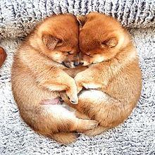 かわいい柴犬の子犬ちゃん  写真右下のハートを押してね プリ画像