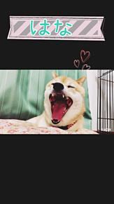 柴犬  あくびの画像(プリ画像)