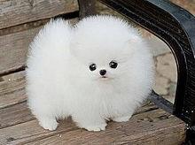かわいい 犬 ポメラニアンの画像377点|完全無料画像検索のプリ