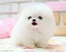 ポメラニアンの画像(かわいい 犬 ポメラニアンに関連した画像)