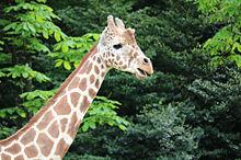 キリン 動物の画像139点 2ページ目 完全無料画像検索のプリ画像 Bygmo