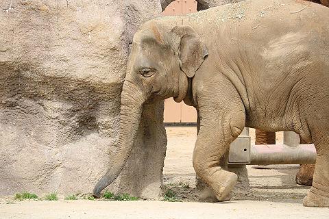 ゾウのこどもの画像(プリ画像)